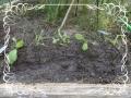 大根追肥と土寄せ