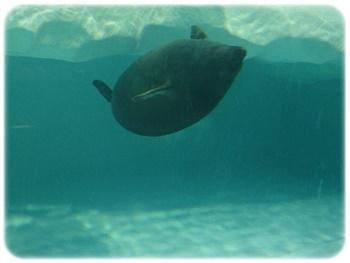 バイカル湖アザラシ 遊泳中
