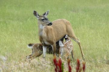 blog 135 Mendocino, Twin Deer babies nursing 2, CA_DSC4939-6.26.16.jpg