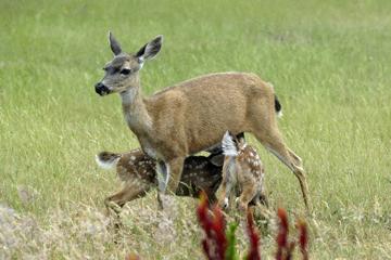 blog 135 Mendocino, Twin Deer babies nursing 2, CA_DSC4937-6.26.16.jpg