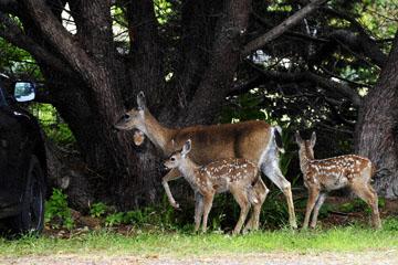 blog (6x4@300) 135 Mendocino, Twin Deer babies, CA_DSC4975-6.26.16.jpg