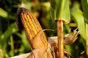 corn-on-the-cob-1690387_960_720_convert_20160929222319.jpg