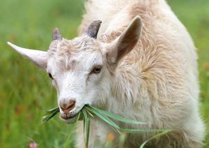 goat-1596880_960_720_convert_20160825214706.jpg