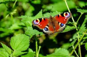 peacock-butterfly-1655724_960_720_convert_20160924230211.jpg